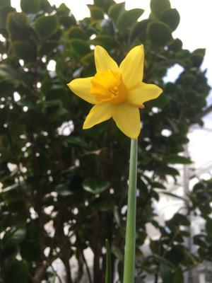 daffodil-mini.jpg