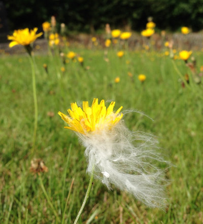 flowernfluff.jpg