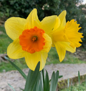 Another orange cupped daffodil
