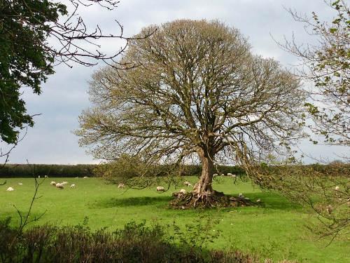 treeshadingsheep.jpg