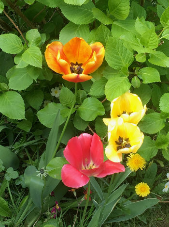 tulips2017.jpg